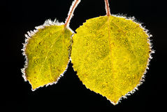 Aspen leaves covered with frost Royalty Free Stock Image