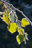 Aspen leaves covered with frost. Stock Images