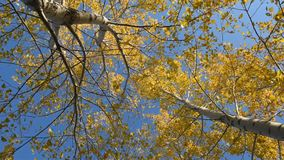 Autumn leaves can be heard in the wind. Aspen leaves crouch in the wind in the fall against the blue sky stock video