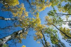 Aspen Leaves in de Zwarte Heuvels Stock Foto