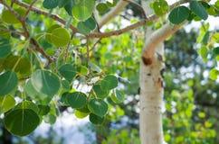 Aspen Leaves en été photos stock