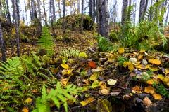 Aspen leaves Stock Images
