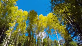 Aspen Leaves Fluttering en viento almacen de video