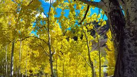 Aspen Leaves Fluttering na brisa video estoque