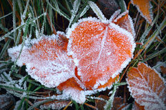 Aspen leaves in the frost. Lying in the grass leaf covered with frost Stock Image