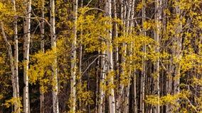 Aspen Leaves Glow Yellow en las montañas rocosas canadienses en otoño Foto de archivo libre de regalías
