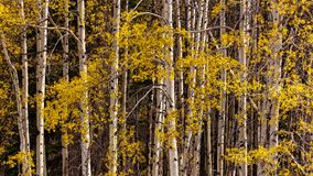 Aspen Leaves Glow Yellow nas Montanhas Rochosas canadenses no outono Foto de Stock Royalty Free
