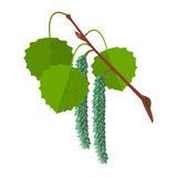 Aspen with leaves and male flowers isolated. Realistic vector. Aspen with leaves and male flowers isolated on white background. Realistic vector detailed Royalty Free Stock Photography