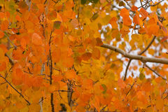 Aspen Leaves orange image stock