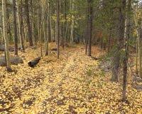 Aspen Leaves que cubre un rastro en Colorado central Fotografía de archivo libre de regalías