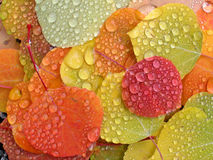 Aspen leaves with raindrops. Colorful aspen leaves with raindrops royalty free stock image