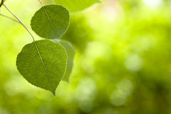 Aspen Leaves Selective Focus Royalty Free Stock Images
