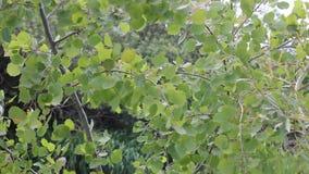 Aspen leaves shaking in wind stock video