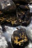 Aspen leaves on shore in fall. Fallen aspen leaves on shore & river rocks in CO Royalty Free Stock Photos
