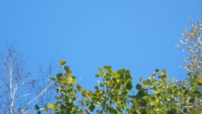 Leaves sway in the wind. Aspen leaves sway in the wind on a sunny day stock video footage