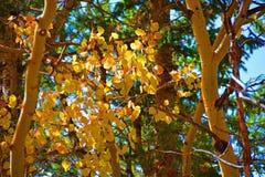 Aspen Leaves und Niederlassungen in den Bergen am Fall Lizenzfreies Stockfoto