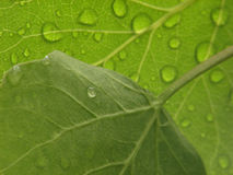 Aspen Leaves with water drops Royalty Free Stock Photography