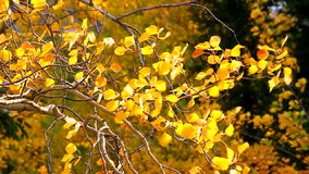 Aspen Leaves in Wind stock video