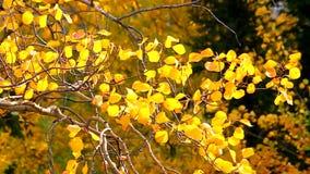 Aspen Leaves in Wind stock video