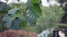 Aspen leaves in the wind stock video