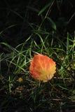 aspen liści, Fotografia Stock