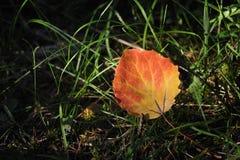 aspen liści, Zdjęcie Stock