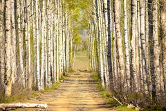 Aspen Lined Dirt Road Stockfoto