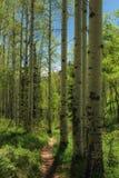 Aspen Lined Hiking Trail Fotografia Stock Libera da Diritti