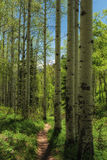 Aspen Lined Hiking Trail. Hiking trail in the Wasatch national forest in Utah USA in the early summer with aspens and mountains under a clear blue sky Royalty Free Stock Photography