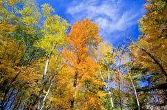 Aspen and maple forest, autumn. Looking upward at glowing aspen and maple forest, in the beauty of minnesotas autumn Stock Images
