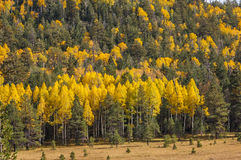 Aspen  meadow Royalty Free Stock Photo