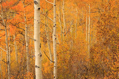 Aspen medley in the Wasatch Mountains. Royalty Free Stock Photography