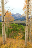 Aspen morning in the Wasatch Mountains. Royalty Free Stock Images