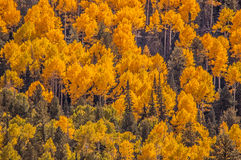 Aspen Mountain. Forest of tall white aspen trees in Aspen Royalty Free Stock Photography