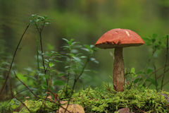 Orange-cap boletus. Royalty Free Stock Photo