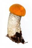 Aspen mushroom Stock Photos