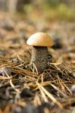 Aspen mushroom in coniferous wood Stock Image