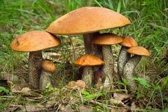 Aspen mushroom family. Large and small mushrooms stock image