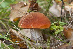 Aspen mushroom in forest Royalty Free Stock Photo