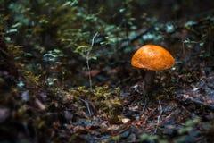 Aspen mushroom Stock Image