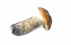 Aspen mushroom Stock Photography