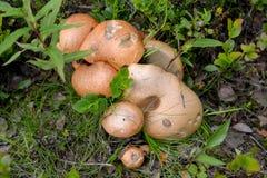 Aspen mushroom red (Leccinum aurantiacum (Bull.) Gray) Stock Image