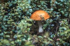 Aspen mushroom Royalty Free Stock Photo