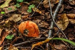 Aspen mushroom. Summer wood. Royalty Free Stock Photos