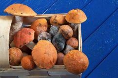 Aspen mushrooms in basket Royalty Free Stock Photo