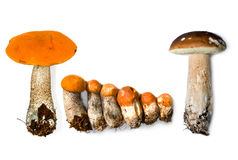 Aspen mushrooms  and Mushrooms boletuses Stock Photos