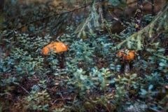 Aspen mushrooms Royalty Free Stock Photo