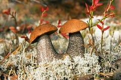 Aspen mushrooms in wood royalty free stock image