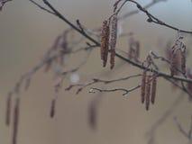 Aspen na primavera foto de stock