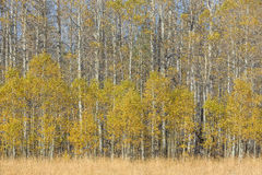 Aspen near Fallen Leaf Lake Royalty Free Stock Photography